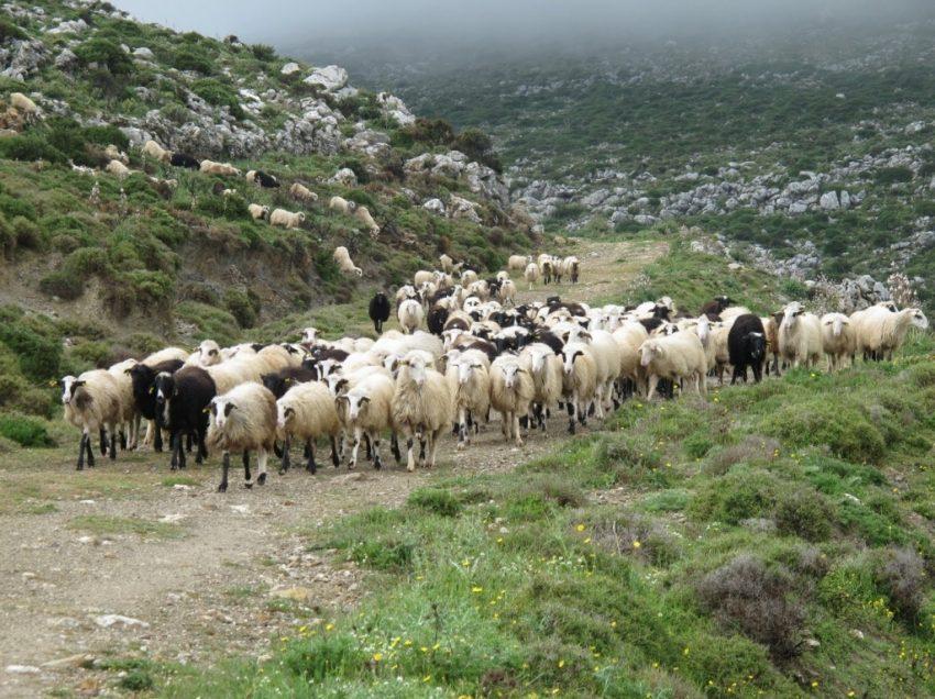 Πότε θα πληρωθούν οι κτηνοτρόφοι από τον ΕΛΓΑ για τις ζημιές του χιονιά