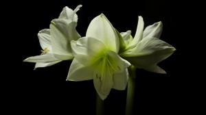 Η άνθιση των λουλουδιών σε ένα μοναδικό βίντεο