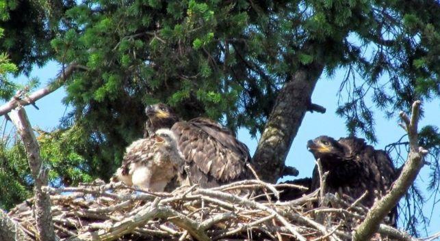 Ζευγάρι αετών μεγαλώνει ένα… γεράκι!