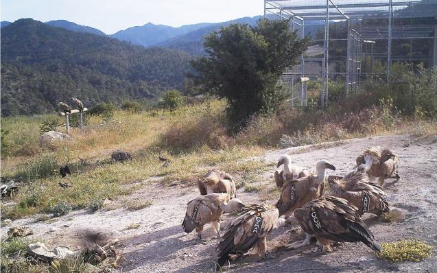 Κρητικοί γύπες έφτιαξαν την πρώτη τους φωλιά στην Κύπρο