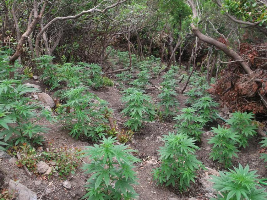 Ρέθυμνο: «Ξετρύπωσαν» μεγάλη φυτεία με 1.512 δενδρύλλια κάνναβης